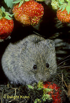 MU30-075z  Meadow Vole - eating strawberries - Microtus pennsylvanicus