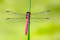 389150027 a wild male roseate skimmer orthemis ferruginea perches on a wild grass stem in the rio grande valley of south texas