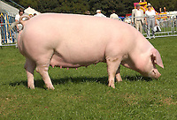 The supreme pig champion, Welsh sow