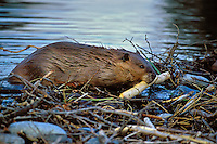 North American Beaver (Castor canadensis) working on dam.  Western U.S.  Fall evening.