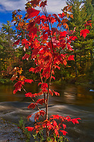 Red maple (Acer rubrum) trees in autumn color at Dryberry Creek<br />Sioux Narrows<br />Ontario<br />Canada