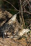 Wild Iberian Lynx
