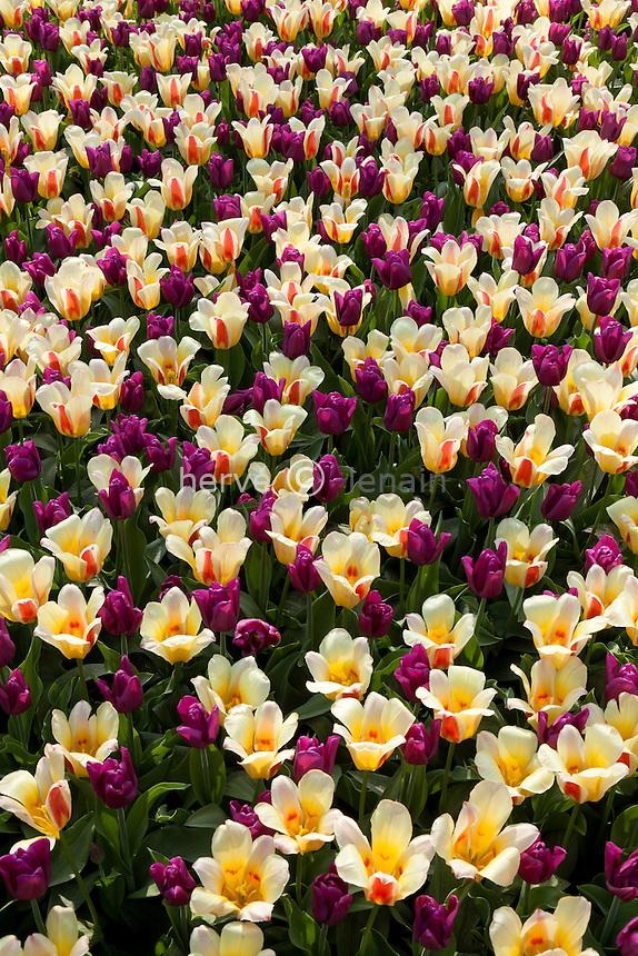 Hollande, région des champs de fleurs, Lisse, Keukenhof, massif avec les tulipes triomphe 'Passionale' et kaufmaniana 'Glück' // Flowerbed with tulips triomph 'Passionale' and kaufmaniana 'Glück'.