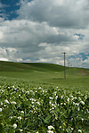 Beans blooming in the foreground in the rolling Palouse Valley