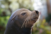 California Sea Lion, Zalophus californianus (Captive)