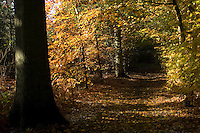 Sunlight brings the autumnal colours in Penn Wood, east of Hazlemere, Buckinghamshire, England, to life.