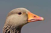 A close up image of a Greylag Goose (Anser anser) side of head portrait.