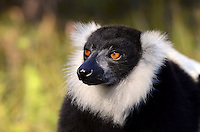 Adult Black & White Ruffed Lemur (Varecia variegata) Andasibe-Mantadia National Park, eastern Madagascar.