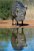 650520250 a wild javelina or collared peccary dicolyties drinks from a pond on beto gutierrez santa clara ranch hidalgo county lower rio grande valley texas united states