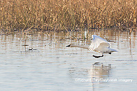 00758-02213 Trumpeter Swans (Cygnus buccinator) taking off from wetland Riverlands Migratory Bird Sanctuary St. Charles Co., MO