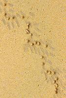 Tracks of the Red Rock Crab (Grapsus grapsus), Española Island, Galapagos, Ecuador, South America