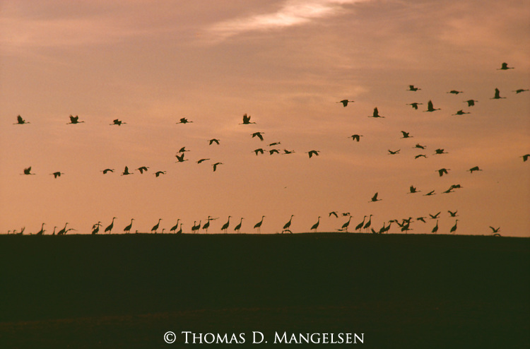 Prairie music, Sandhill cranes