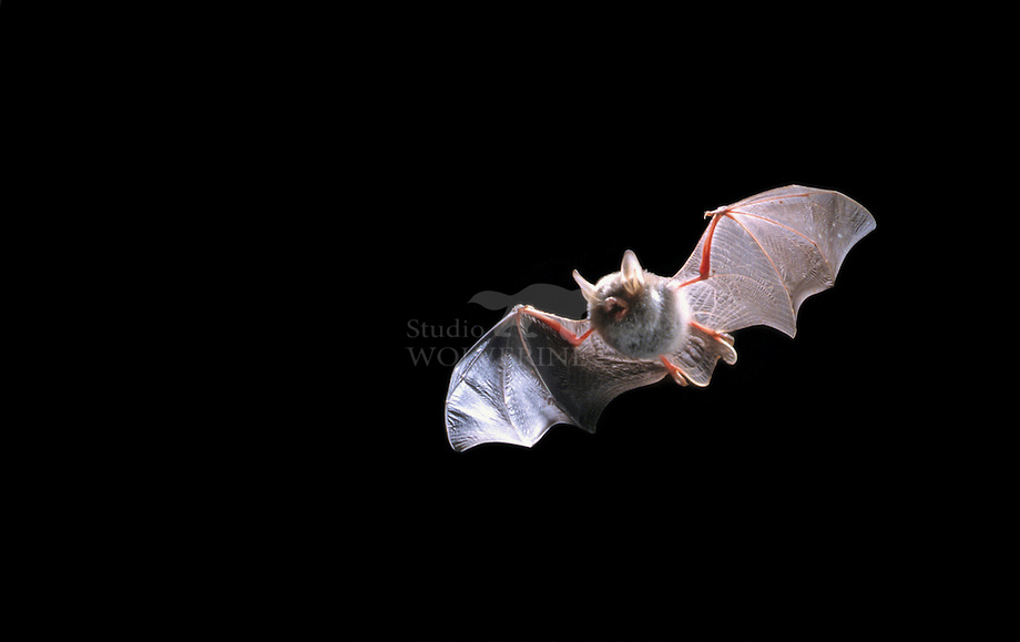 Franjestaart vleermuis (Myotis nattereri)