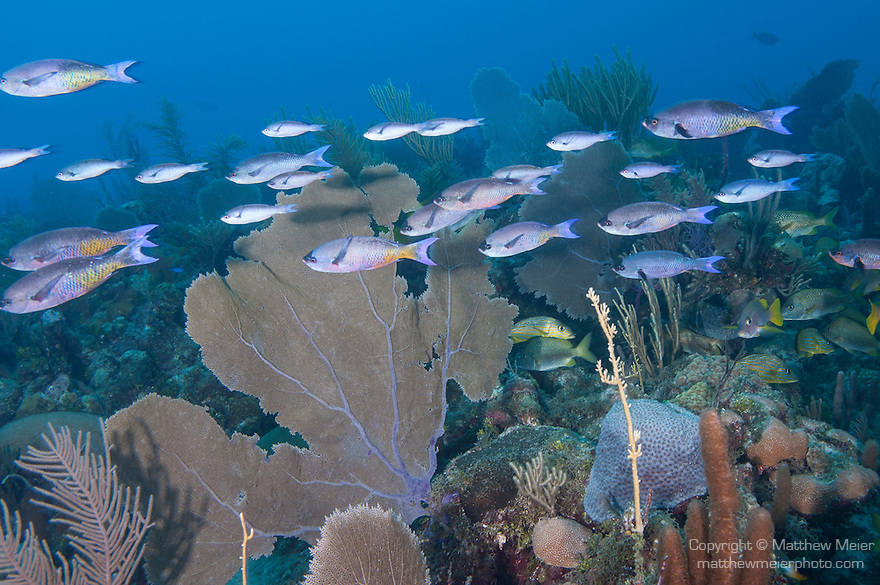 Gardens of the Queen, Cuba; a polarized school of Creole Wrasse fish swimming in unison across the coral reef