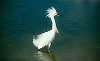 Snowy egret, Egretta thula, in breeding plumage standing in shallow water of Gulf of Mexico, Florida