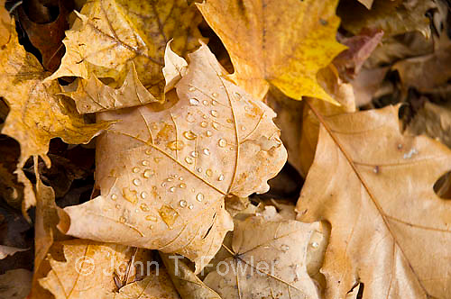 Raindrops on dead maple and oak leaves on forest floor