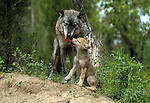 Grey wolf and 8 week old pup, Montana