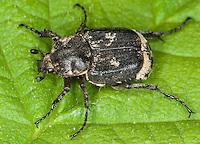 Stolperkäfer, Stolper-Käfer, Männchen, Valgus hemipterus, Scarabaeus hemipterus, Blatthornkäfer, Scarabaeidae, scarab beetles