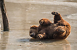 """Pictured: This happy looking bear appears to be enjoying a tumble on the ice as it rocks around on its back above a frozen lake in France.<br /> <br /> Banking lawyer Analia Clouet, 31, said: """"I took these pictures whilst visiting a nature reserve in north east France.  The bear walked along the banks of the lake first before venturing out onto the ice.  He quickly seemed to get used to the ice, having a play whilst rolling around grabbing sticks and branches.  <br /> <br /> """"It was a very cold day and I had to stay very still to get these pictures.  My fingers were freezing despite wearing gloves!""""<br /> <br /> Please byline: Analia Clouet /Solent News<br /> <br /> © Analia Clouet /Solent News & Photo Agency<br /> UK +44 (0) 2380 458800"""