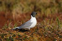 Sabine's Gull (Xema sabini). Teshekpuk Lake Special Area, Alaska. July.