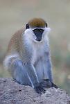 Vervet Monkey, Chlorocebus pygerythrus, Lake Awasa, Ethiopia, Africa