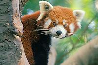 Red Panda (Aiulurus fulgens)