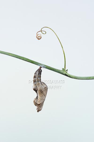 Gulf Fritillary (Agraulis vanillae), caterpillar pupating, series, Hill Country, Central Texas, USA