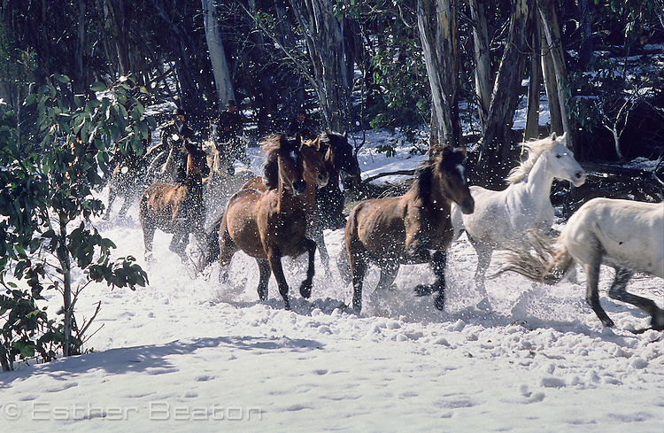 Brumbies (wild horses) chased by stockmen through snow, Mount Buller, Snowy Mountains, Victoria.
