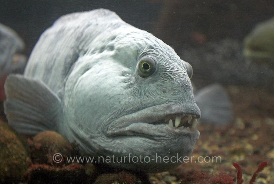 Gestreifter Seewolf, Kattfisch, Katfisch, Anarhichas lupus, Atlantic wolffish, cat fish, catfish