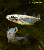 1S47-611z  Threespine Stickleback, male courting gravid female with a zigzag dance, she responds with a head-up posture to display her swollen belly, Gasterosteus aculeatus, Freshwater male - Marine female.