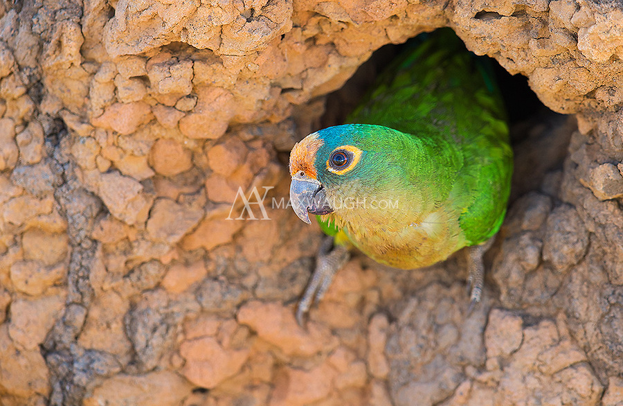 I saw a variety of parrots and parakeets during my visit to western Brazil.  This Peach-fronted parakeet was nesting in a termite mound and popped out just as we were driving by.