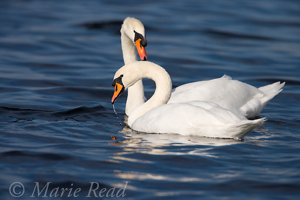 Mute Swans (Cygnus olor) pair, Montezuma National Wildlife Refuge, New York, USA.