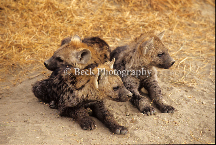 Three young hyenas