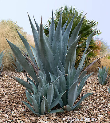 1201-0809  Agave kerchovei © David Kuhn/Dwight Kuhn Photography