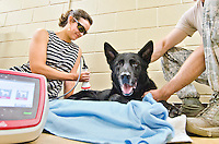 College of Veterinary Medicine student Courtney Griffin administers laser therapy treatment to retired military dog, Maci. The college's class of 2018 created the Vets for Vets program to provide free rehabilitative care for retired military dogs.