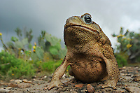 Cane Toad, Marine Toad, Giant Toad (Bufo marinus), adult in desert, Laredo, Webb County, South Texas, USA
