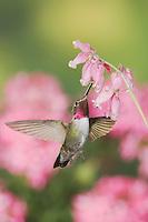 Broad-tailed Hummingbird, Selasphorus platycercus,male in flight feeding on Fringed Bleeding Heart flower(Dicentra eximia),Rocky Mountain National Park, Colorado, USA