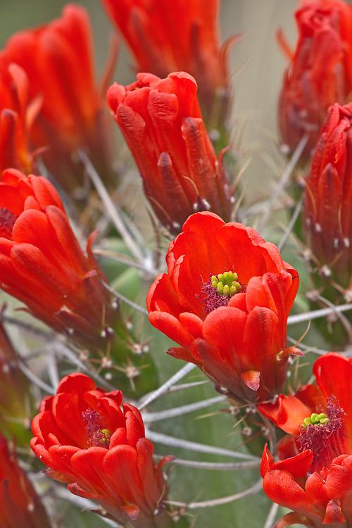 Blooming claretcup cactus (Echinocereus triglochidiatus)