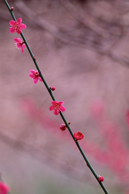 Branch of Japanese Apricot blossoms, Prunus mume 'Beni-shidare', in Spring at Van Dusen Botanical Garden, Vancouver, BC