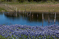 Bluebonnets surrounding a pond with ducks swimming in the Texas Hill Country