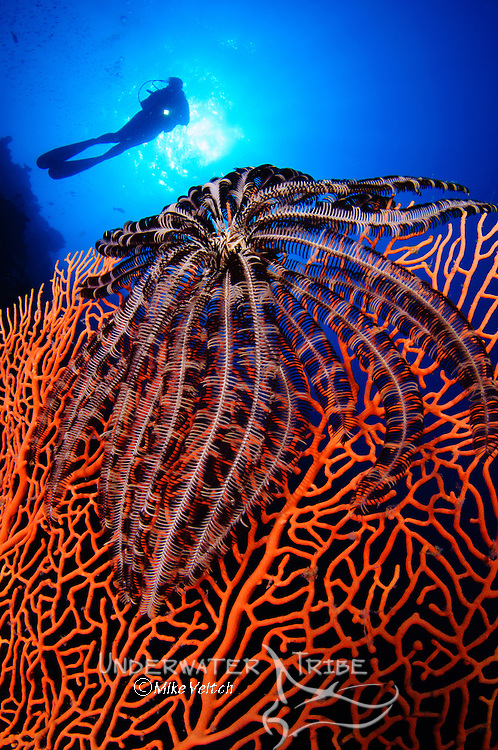 A black crinoid on a Gorgonian seafan with a diver silhouetted in the background, Layang Layang, South China Sea, Sabah Province, Borneo, Malaysia, Pacific Ocean