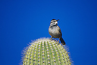Cactus Wren, Campylorhynchus brunneicapillus, adult on Saguaro cactus, Tucson, Arizona, USA