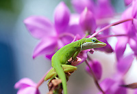Green Anole Lizard(Chameleon) being very unChameleon like, against a background of purple ground Orchids. Picture taken outside photographers front door.