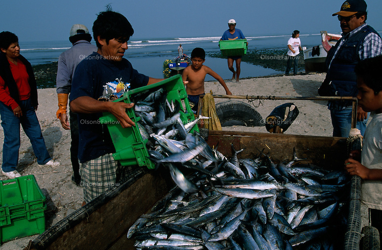Fishermen unload their catch of the day from their nets on the boats at the dock of the market in San Andres, Peru where women buyers bid on the fish.