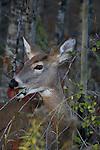 White-tailed doe (Odocoileus virginianus) eating rasberry leaves