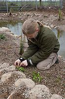 Grundschulklasse, Schulklasse legt einen Schulteich, Schul-Teich, Gartenteich, Garten-Teich im Schulgarten an, Mädchen, Kind pflanzt die ersten kleinen Wasserpflanzen am Uferrand des neu angelegten Teiches ein, als Substrat dient feinkörniger Kies