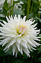 Dahlia 'Ruskin Bride', early September.