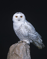 A first year male Snowy Owl (Bubo scandiacus) perched on a rock (Michigan)