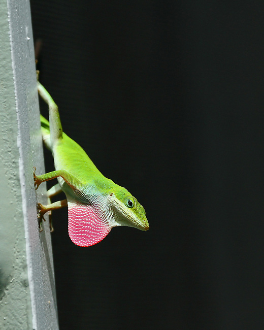 The bright green Anole hanging on to a post showing off its red throat stands out against a black background in a Carolina garden.