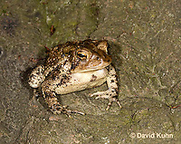0304-0919  American Toad, © David Kuhn/Dwight Kuhn Photography, Anaxyrus americanus, formerly Bufo americanus